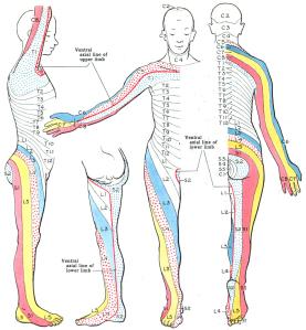 dermatome-map