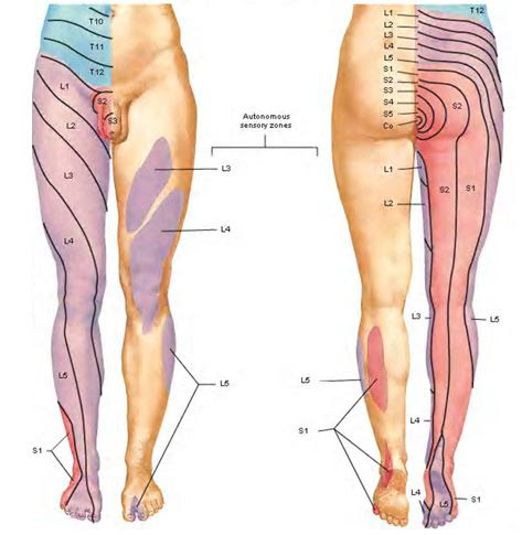 lower body dermatomes