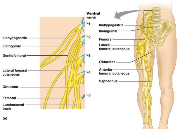 lower extremity nerves