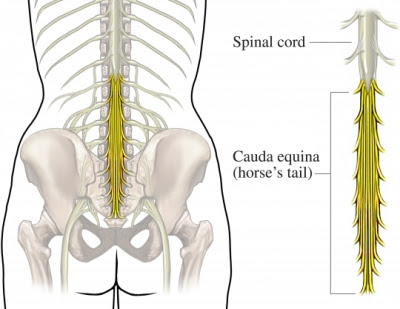 spine nerve anatomy